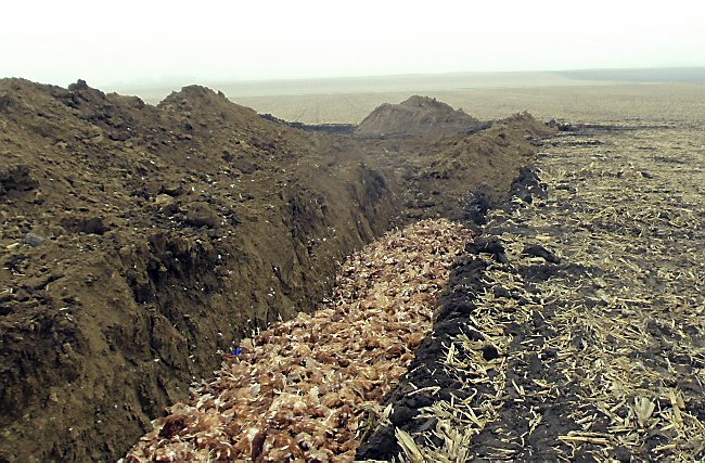 This photo provided by the Iowa Department of Natural Resources shows chickens in a trench on a farm in northwest Iowa. Millions of dead chickens and turkeys are decomposing in fly-swarmed piles near dozens of Iowa farms, culled because of a bird flu virus that swept through the state's large poultry operations. (Iowa Department of Natural Resources via AP)